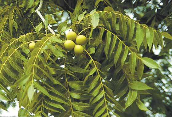 Black walnut leaves and fruits