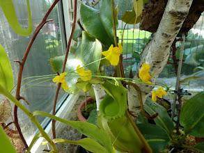 Photo: Utricularia prealonga