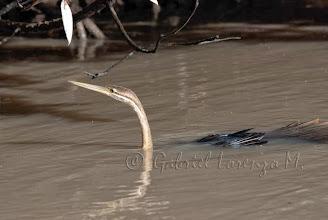 Photo: Anhinga africana (Anhinga melanogaster)