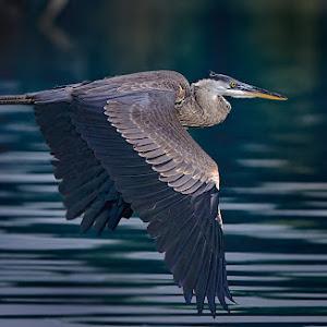 Early-Morning-Heron-Flight.jpg