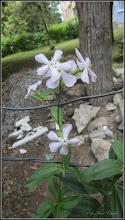 Photo: Săpunariță (Saponaria officinalis) - din Turda, Calea Victoriei, Nr.15-17 - 2018.06.21