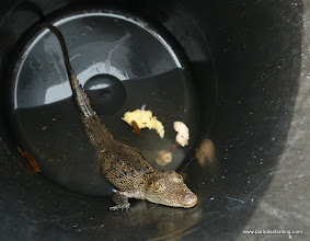 Photo: Baby American crocodile, ready for release in the Rio San Cristobal