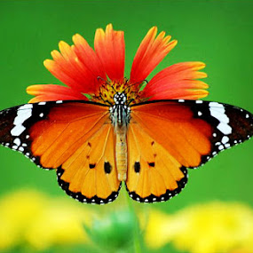 butterfly by Rajesh Kumar - Animals Insects & Spiders