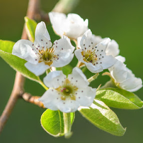 by Gernot Koller - Flowers Flowers in the Wild ( spring flowers, pear, nature up close )