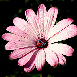 Cosmos rose by Gérard CHATENET - Flowers Single Flower