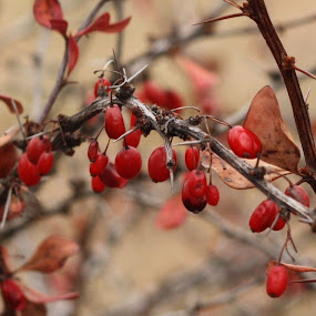 Fall Berries by Leslie Hendrickson - Nature Up Close Trees & Bushes ( red berries, nature, autumn, bush, nature close up )