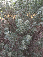 Photo: Not Easy Being Green - A common landscape shrub in Arizona, this healthy plant does better with partial shade during the day.  This image was taken with iPhone 6 Plus in the early morning, Tucson, Arizona.