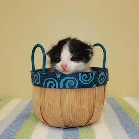a baby kitten  by Sharon Scholtes - Animals - Cats Kittens ( tiny, kitten, cat, white, basket, feline, black )