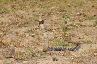 Photo: I am the forest cobra!