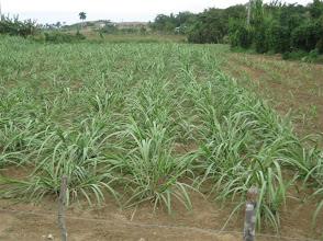 Photo: 4 ½ meses. Sustainable Sugarcane Initiative (Sistema de Caña de Azúcar Sostenible - SiCAS) 2012 [Photo by Rena Perez]
