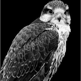 Lanner falcon by Gérard CHATENET - Black & White Animals