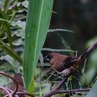 白腰文鳥 (White-rumped Munia)