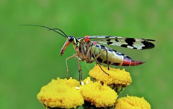 Photo: Panorpa communis,  Panorpe ou Mouche scorpion  http://lepidoptera-butterflies.blogspot.com/
