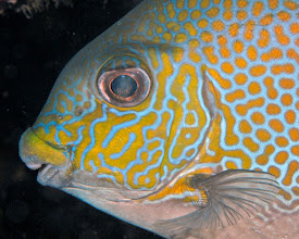 Photo: Golden Rabbitfish - Siganus guttatus