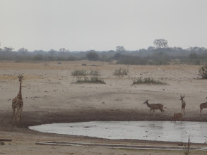 Photo: Kudu drink while giraffe contemplates the risk-reward of bending over for a drink.