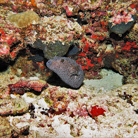 by Phil Bear - Animals Fish ( pufferfish, reef, coral, fish, coral reef, puffer, maldives )