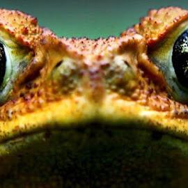 I see you by Pedro Penduko - Animals Amphibians (  )