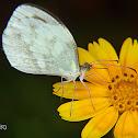 Crisia mimic-white