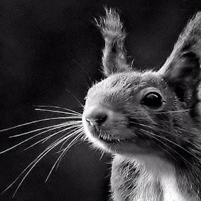 a curious squirrel by Bob Has - Black & White Animals ( curious, b&w squirrel, cute, animal,  )