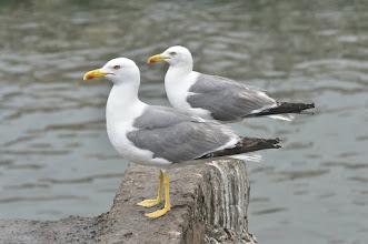 Photo: Larus michahellis- Yellow- legged Gull
