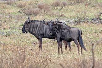 Photo: Blue Wildebeests