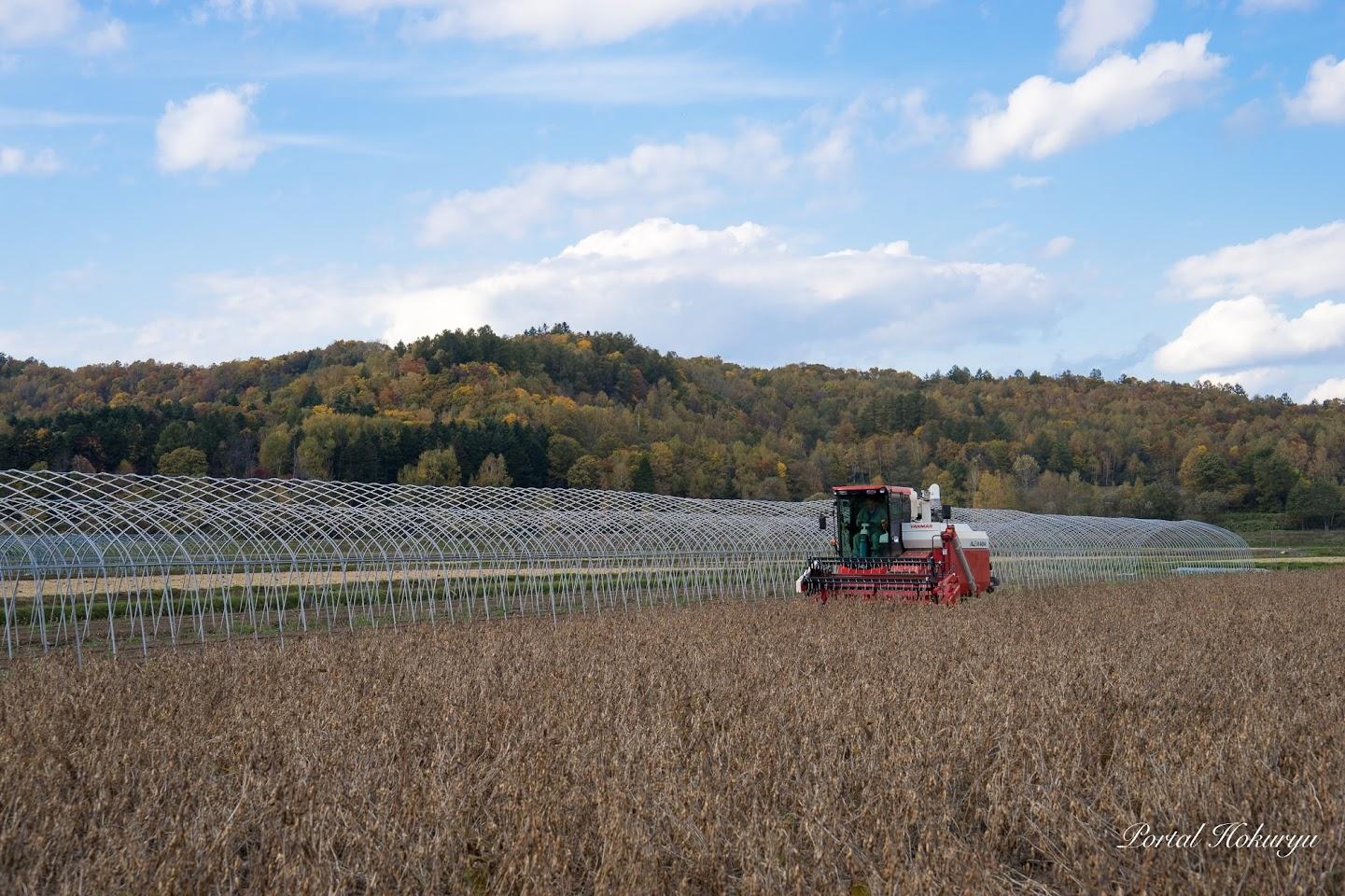 紅葉をバックに大豆の収穫