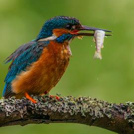 Kingfisher by Yordan Mihov - Animals Birds ( sigma, brunch, fishing, fish, sony alpha, animal, 150-500mm, kingfisher )