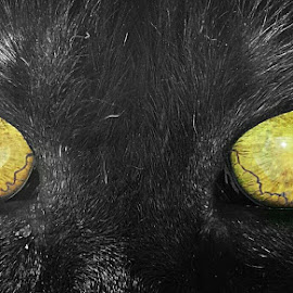 Black cat by Simona Savini - Animals - Cats Portraits ( cats, cat, animal, portrait, eyes,  )