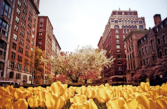 """Photo: """"Catching the sunlight...""""  There is nothing quite like spring on Park Avenue in upper Manhattan. The gorgeous, ornate architecture is adorned by beautiful spring blossoms.  Park Avenue is one of the wider avenues on the Upper East Side and has a center divider that showcase trees and flowers. In the spring, rows and rows of yellow tulips bloom at once catching the sunlight with their effervescent petals while the trees on either side of the avenue and in the center area feature pink, yellow, white and light green blossoms.    New York Photography: Spring - Park Avenue - Upper East Side.    You can view this post along with information about purchasing prints of this image if you wish at my site here:  http://nythroughthelens.com/post/21214775800/spring-tulips-and-blossoms-on-park-avenue-upper  -  Tags: #photography #newyorkcity #nyc #parkavenue #uppereastside #spring #springtime #tulips #trees #architecture #springnyc"""