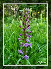 Photo: Orchis moucheron, Gymnadenia conopsea