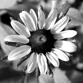 Sunshine Surprise 1 Black And White by RMC Rochester - Black & White Flowers & Plants ( abstract, macro, nature, black and white, random, flower,  )