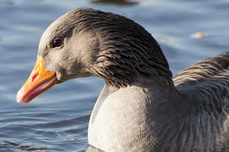 Photo: Greylag Goose (Graugans); Radebeul, DE