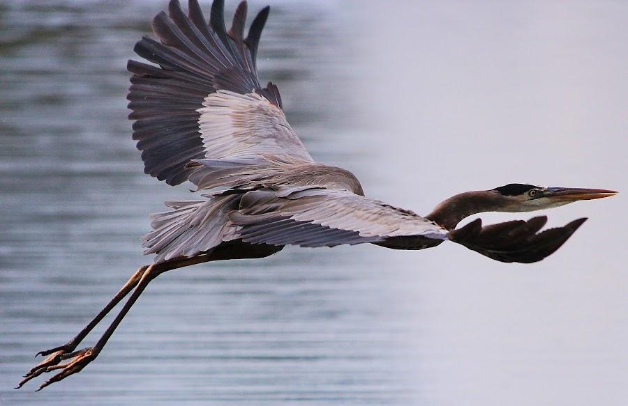 Heron in flight by Peg Elmore - Animals Birds ( flight, blue heron )