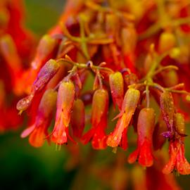 flower by Fabienne Lawrence - Uncategorized All Uncategorized ( red, nature, flower, red flower )