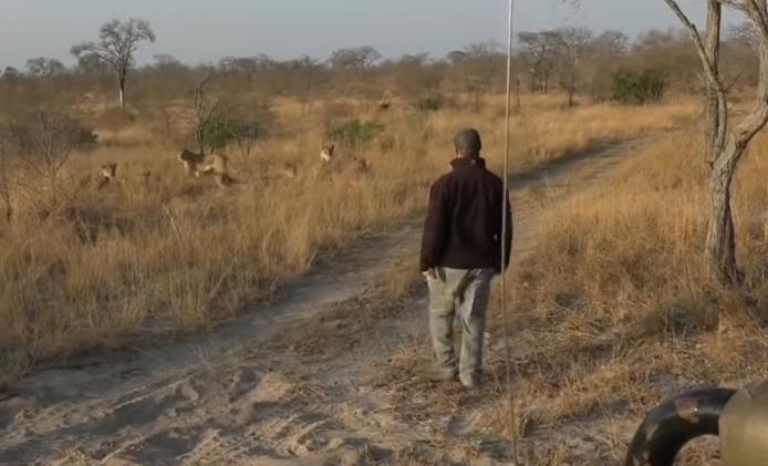 KYK | Safari-gids wat leeus opspoor, word 'skrik' van sy lewe - TimesLIVE