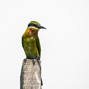 Burung Berek-Berek Carik Dada (Merops philippinus)  by Adi Adlee - Animals Birds