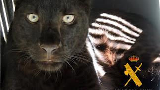 Pantera negra encontrada en un zoológico clandestino de Arboleas en 2016.