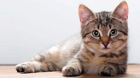 Cat Wallpapers Hd 4k Android Apps On Google Play