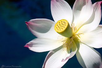 Photo: Lotus Flower @ Balboa Park, San Diego, CA - http://photo.leptians.net/#Lotus_Flower.jpg