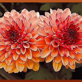 Double Glory by Diana Postill - Nature Up Close Flowers - 2011-2013 ( twin, stock, art, double, flowers )