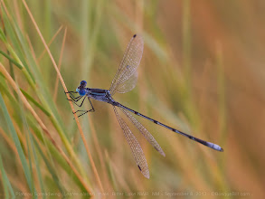 Photo: This Plateau Spreadwing damselfly was found at Bitter Lake NWR in the same area as the Seaside Dragonlets. There are fresh water channels nearby where I suspect it breeds.  #GrassTuesday +Grass Tuesday #odonata