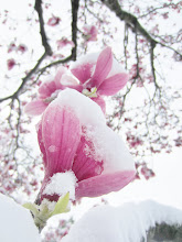 Photo: Snow-covered pink magnolia blossoms at Cox Arboretum in Dayton, Ohio.