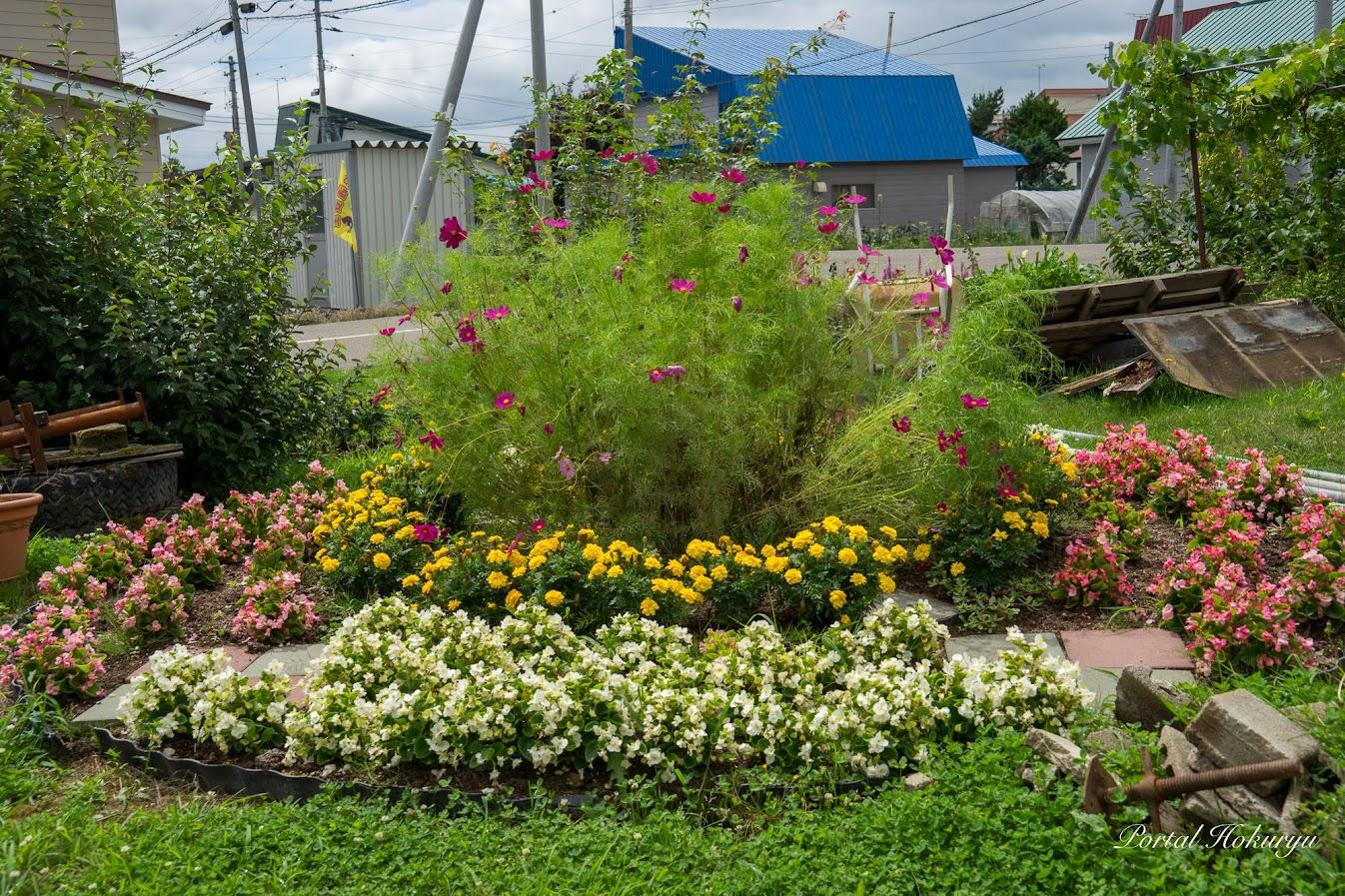 コスモスが咲き始めたお庭の花壇