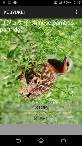 鳥鳴き声コジュケイ
