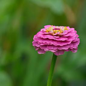 pink by Donna Davis Kasubeck - Flowers Single Flower (  )