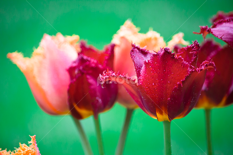 Tulips by Edit Peterffy - Nature Up Close Flowers - 2011-2013 ( orange, red, tulip, yellow, garden colorful )