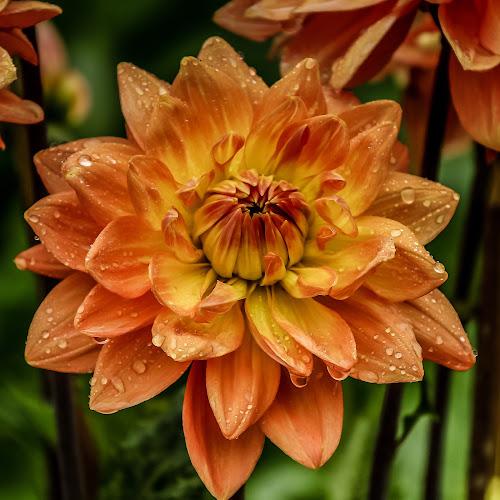 Dahlia by Mandy Hedley - Flowers Single Flower ( single, peach, dahlia, rain, flower,  )