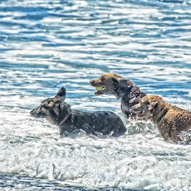 Chasing that ball by Tammy Arruda - Animals - Dogs Playing ( ball, ocean, chasing, dogs, water )