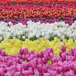 sea of colour.jpg