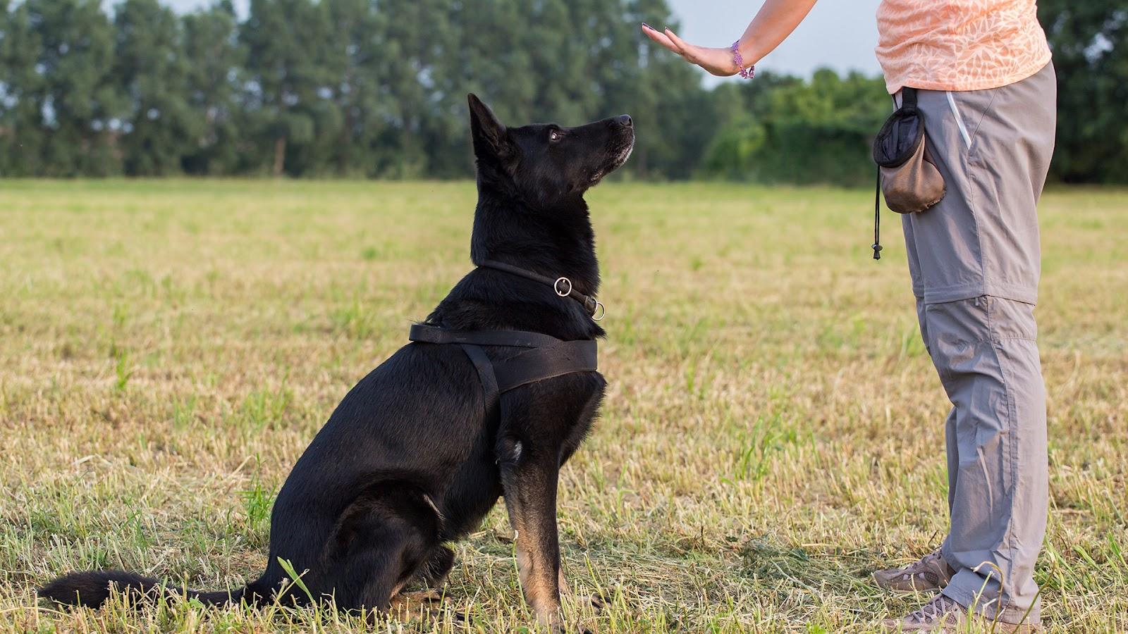 Dog trainer teaching German Shepherd to sit